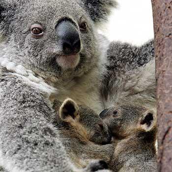 Koala Baby In Pouch | www.pixshark.com - Images Galleries ...